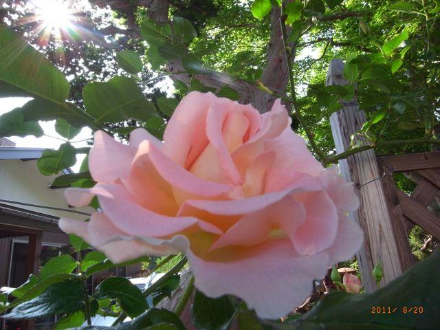 ロココが咲きました